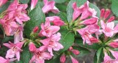 Krzewuszka cudowna (Weigela Florida) - ozdobny krzew do ogrodu